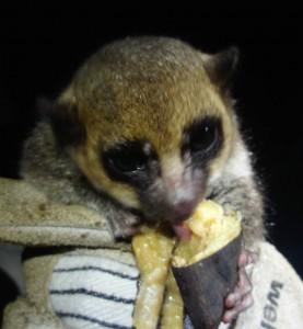 dwarf lemurs love banana_cropped